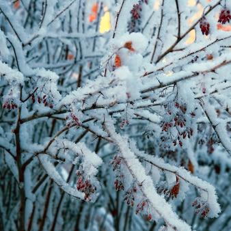 Piękny pokryty śniegiem krzew dzikiej róży z jaskrawoczerwonymi jagodami. zimowa przyroda, środowisko.
