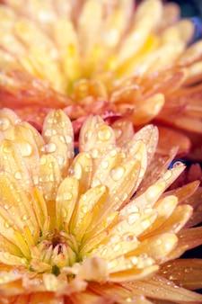 Piękny pomarańczowy kwiat chryzantemy jesień żywe tło z rosą