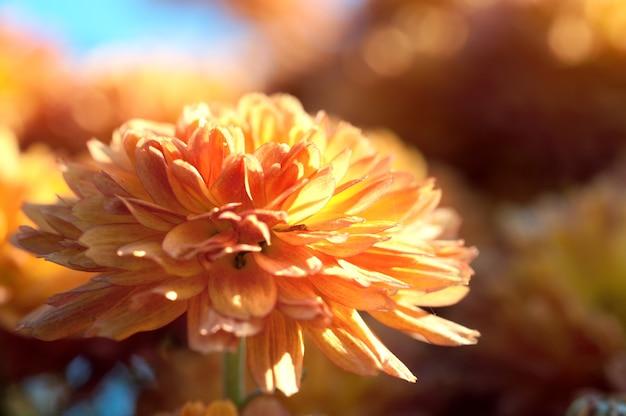 Piękny pomarańczowy kwiat chryzantemy jesień żywe tło