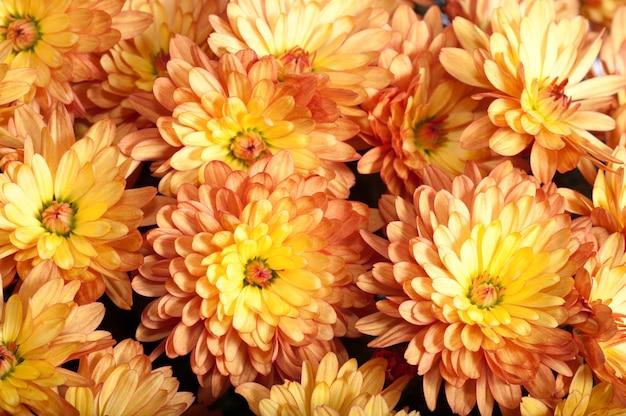 Piękny pomarańczowy kwiat chryzantemy jesienią żywy