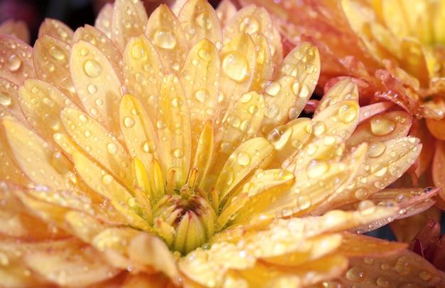 Piękny pomarańczowy kwiat chryzantemy jesienią