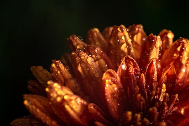 Piękny pomarańczowy kwiat. zakończenie w górę fotografii pomarańczowa chryzantema kwitnie z kroplami woda