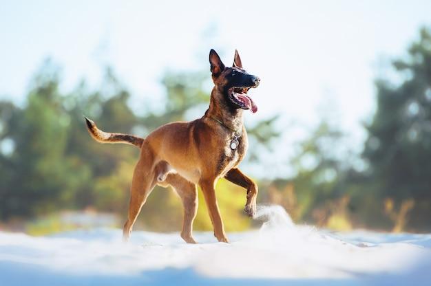 Piękny pomarańczowy piesek malinois figlarnie uniósł łapę. pies szczęśliwie pozowanie na plaży w piasku