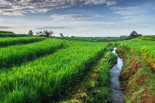 Piękny poranek na polach ryżowych z przepływem wody w indonezji