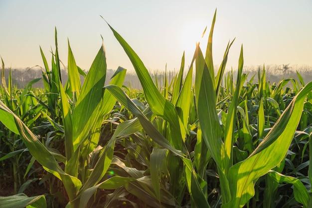 Piękny poranek na polu kukurydzy