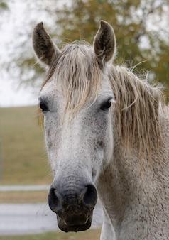 Piękny portret białego konia