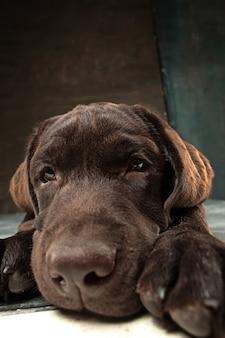 Piękny portret czekoladowego szczeniaka labrador retriever