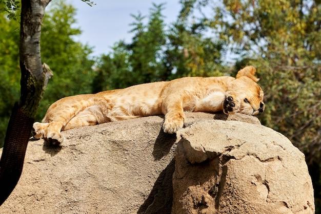 Piękny portret lwa afrykańskiego śpiącego, leżącego na skale w zoo w walencji w hiszpanii