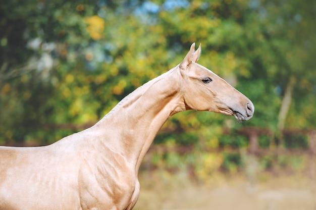 Piękny portret młodego konia rasy achal-teke. głowa konia z długą szyją.