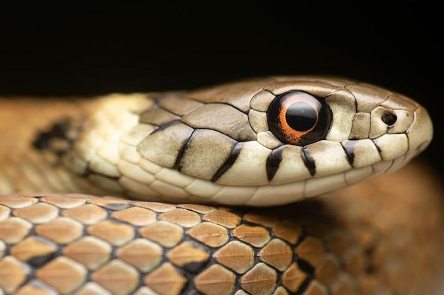 Piękny portret młodego węża śródziemnomorskiego z czerwonymi oczami i czarnym tłem