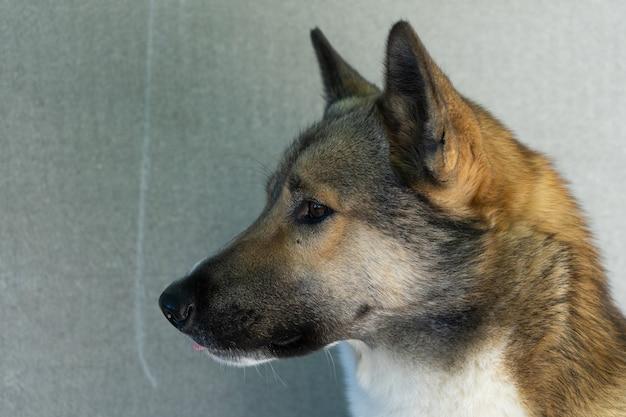 Piękny portret psa. łajka syberyjska. piękny husky. pies jest najlepszym przyjacielem człowieka.