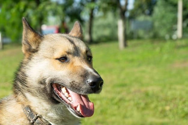Piękny portret psa. łajka syberyjska.