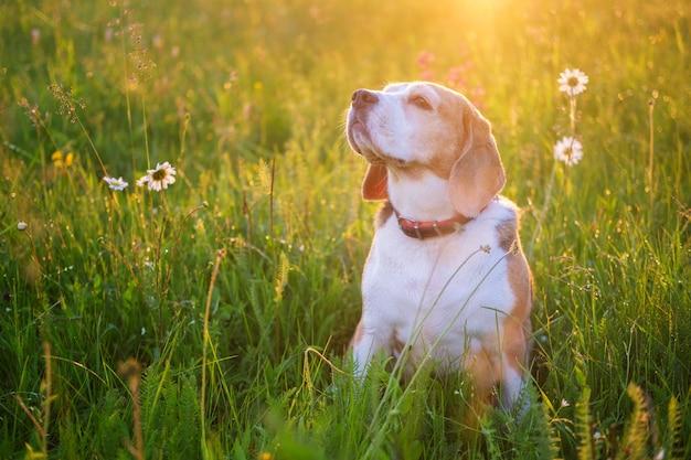Piękny portret psa rasy beagle na łące wśród polnych kwiatów o zachodzie słońca