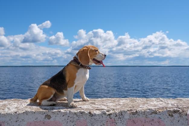 Piękny portret psa rasy beagle na tle błękitnego nieba i białe chmury cumulus nad brzegiem głębokiej rzeki