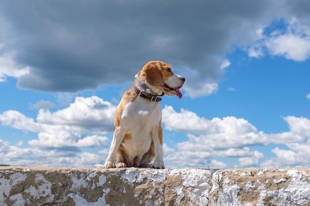 Piękny portret psa rasy beagle na tle błękitnego nieba i białe chmury cumulus