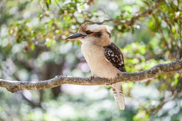 Piękny portret roześmianej kookaburra na zamazanej zieleni