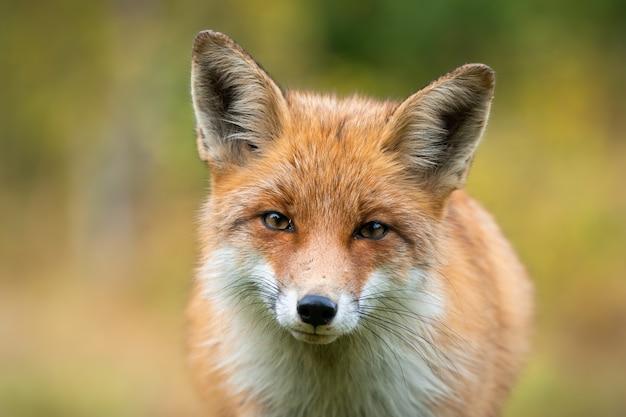 Piękny portret rudego lisa mającego kontakt wzrokowy z aparatem w jesiennych kolorach