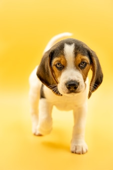 Piękny portret tricolor beagle szczeniak patrząc na kamery z doskonałym spojrzeniem i żółtym tłem, pionowy obraz.