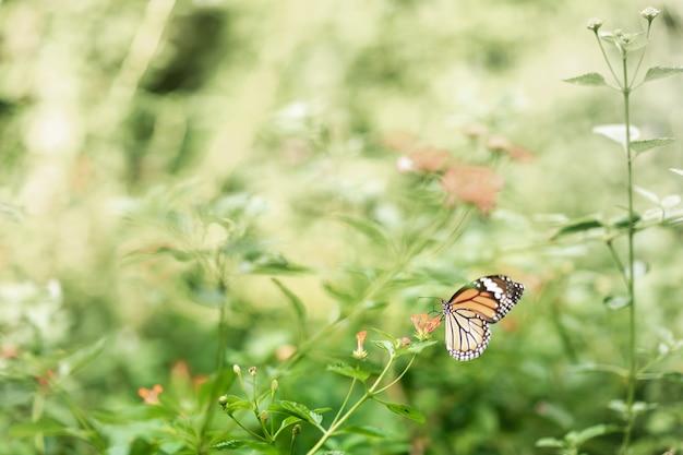 Piękny pospolity tygrysi motyl na kwiacie w ogródzie.