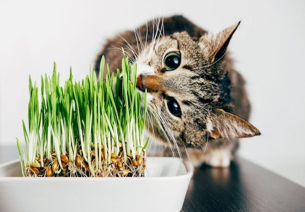 Piękny pręgowany kot jedzący trawę