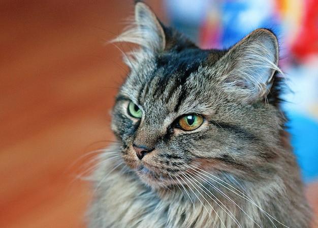 Piękny pręgowany kot o różnych oczach. ścieśniać.