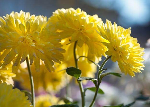 Piękny pstrokaty kwiat chryzantemy jesienne żywe tło