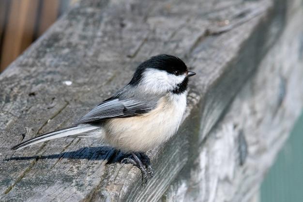 Piękny ptak sikora karolina stojąca na drewnianej powierzchni