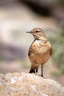 Piękny ptak słowik zwyczajny na skale