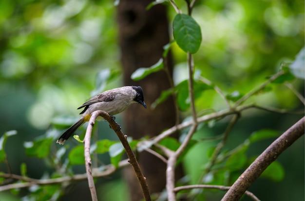 Piękny ptak sooty na czele bulbul siedzący na drewnianym (pycnonotus aurigaster)