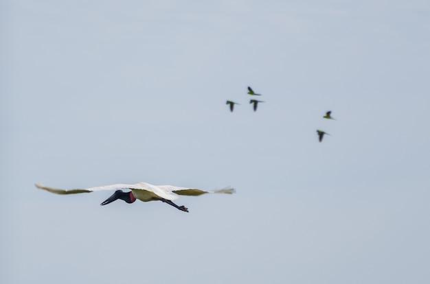 Piękny ptak tuiuiu w brazylijskim pantanalu