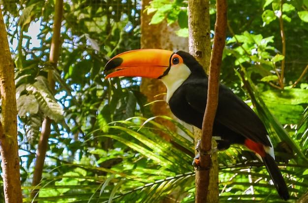 Piękny ptak tukan na gałęzi drzewa