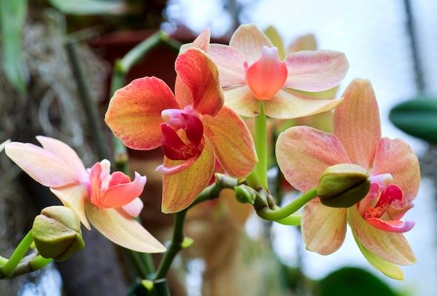 Piękny Purpurowo-żółty Kwiat Orchidei Premium Zdjęcia