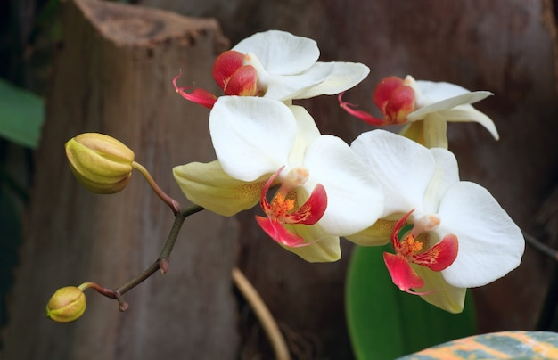 Piękny purpurowo-żółty kwiat orchidei