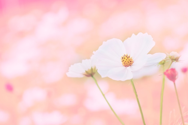 Piękny purpurowy kosmosów kwiatów ogród