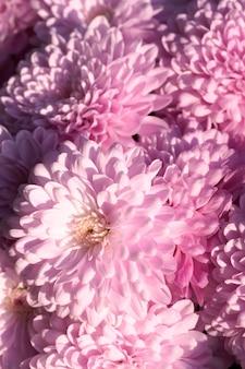 Piękny purpurowy kwiat chryzantemy jesień żywe tło
