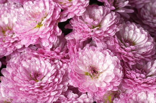 Piękny purpurowy kwiat chryzantemy jesienią żywe tło (z rosą)