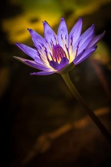 Piękny purpurowy kwiat lotosu