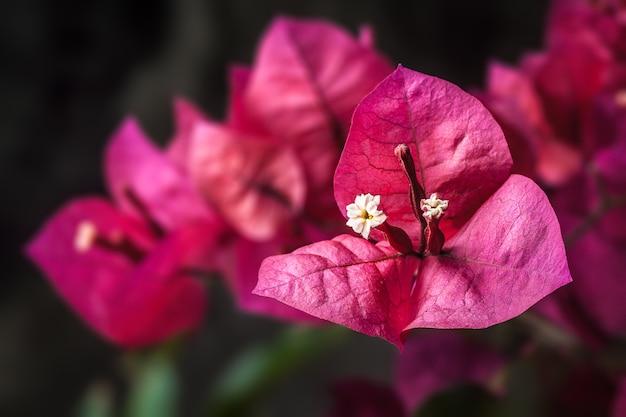 Piękny purpurowy wiosna kwiat (bougainvillea)