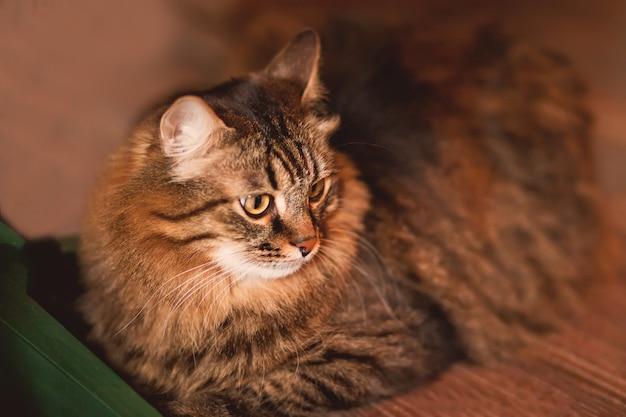 Piękny puszysty brązowy pasiasty kot leży na podłodze