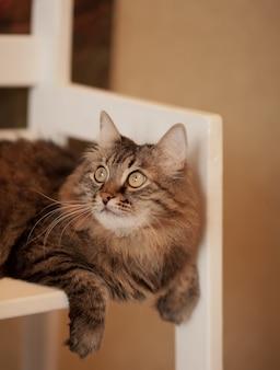Piękny puszysty brązowy pasiasty kot siedzi na krześle.