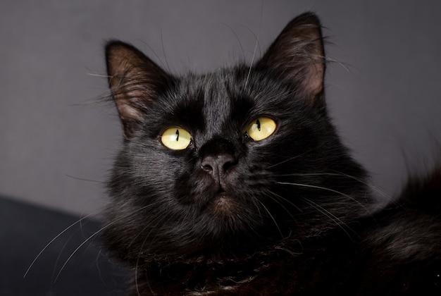 Piękny puszysty czarny kot o żółtych oczach