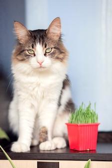Piękny puszysty kot siedzi w mieszkaniu obok kociej trawy. specjalne zioło dla kotów domowych.