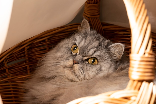 Piękny puszysty kot szkocki prosto uszaty odpoczywa w kocim posłaniu, w koszu