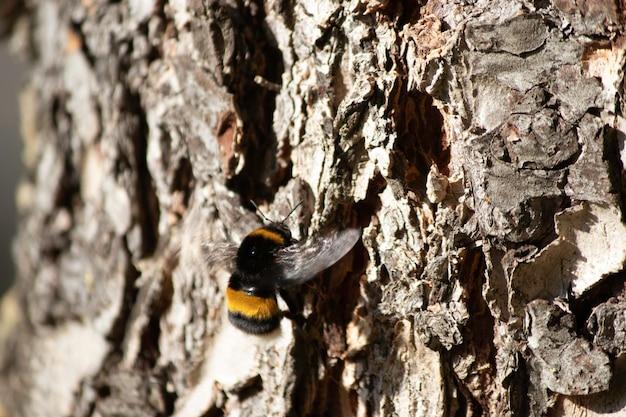 Piękny puszysty trzmiel na drzewie w pobliżu kory drzew puszysty owad