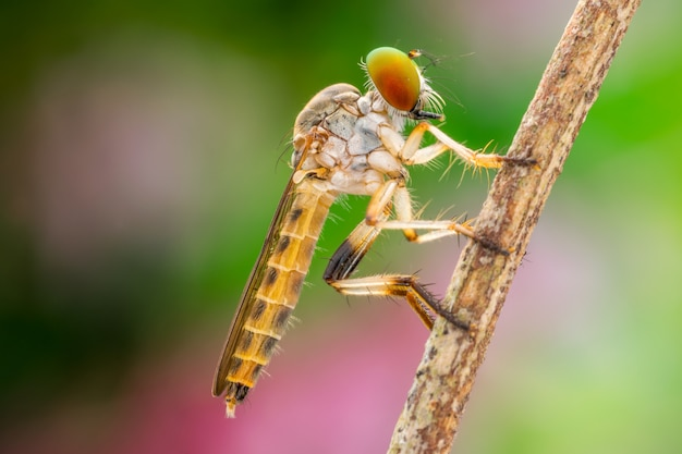 Piękny rabuś lata makro- natury (asilidae)