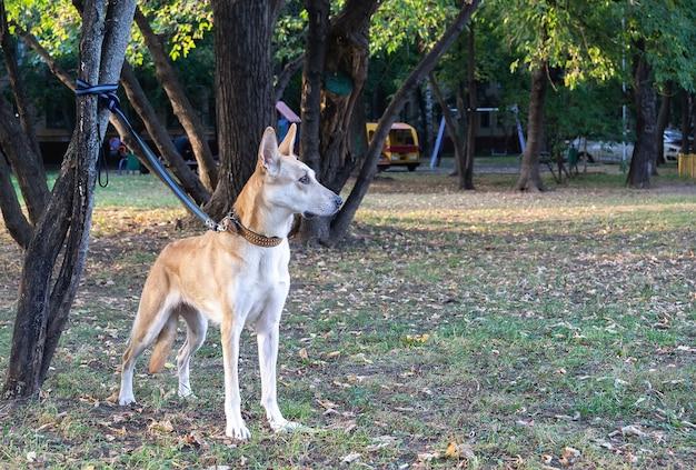 Piękny, rasowy pies siedzi na drzewie na smyczy