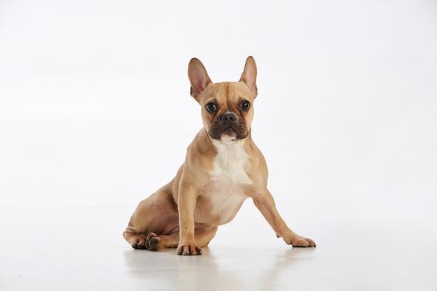 Piękny rasowy pies siedzi
