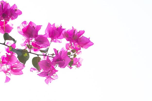 Piękny różowy bougainvillea kwiat na roślinie