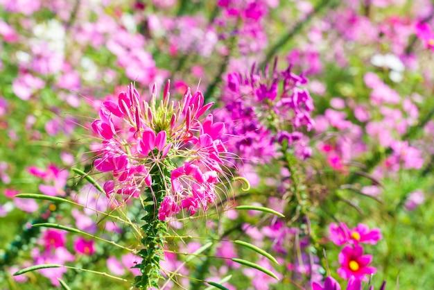 Piękny różowy cleome hassleriana lub kwiat pająka w ogrodzie