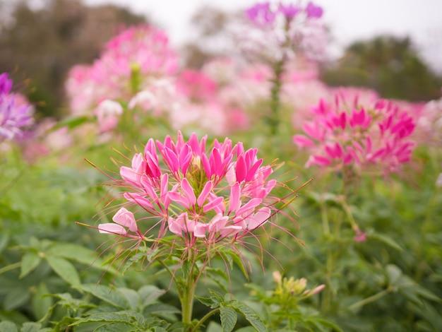 Piękny różowy cleome spinosa lub pająka kwiat w ogrodzie
